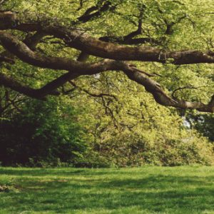 tree at box hill