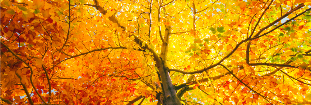 looking up in tree of golden yellow leaves